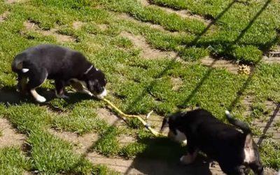 Entlebucher Sennenhunde Welpen beim Spielen