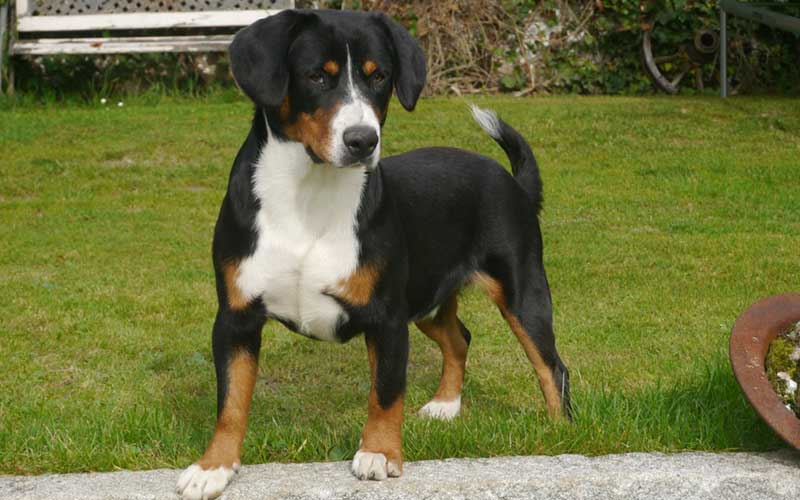 Übersicht Schweizer Sennenhunde - Entlebucher Sennenhund