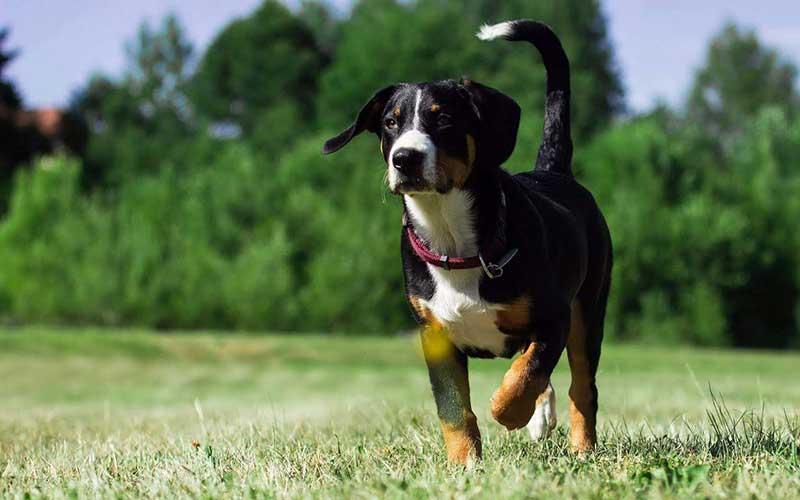 Übersicht Schweizer Sennenhunde - Appenzeller Sennenhund